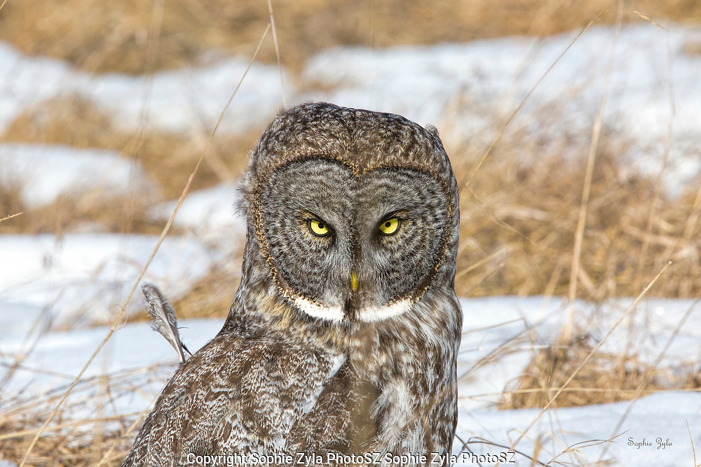 Great Gray Owl Bad Feather Day