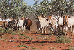 Brahman cattle on the move on Anna Plains Station south of Broome.