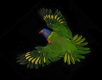 Rainbow Lorikeet, (Trichoglossus haematodus); captive, credit: Pandemonium Aviaries/M.D.Kern