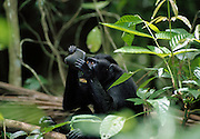 Celebes crested macaque (Macaca nigra) looking at itself in mirror. Sulawesi | Zähnefletschend versucht der Schopfmakake (Macaca nigra) sein Spiegelbild zu beeindrucken.