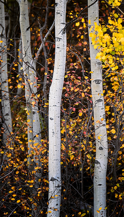 Fall aspen portrait