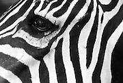 Zebra closeups