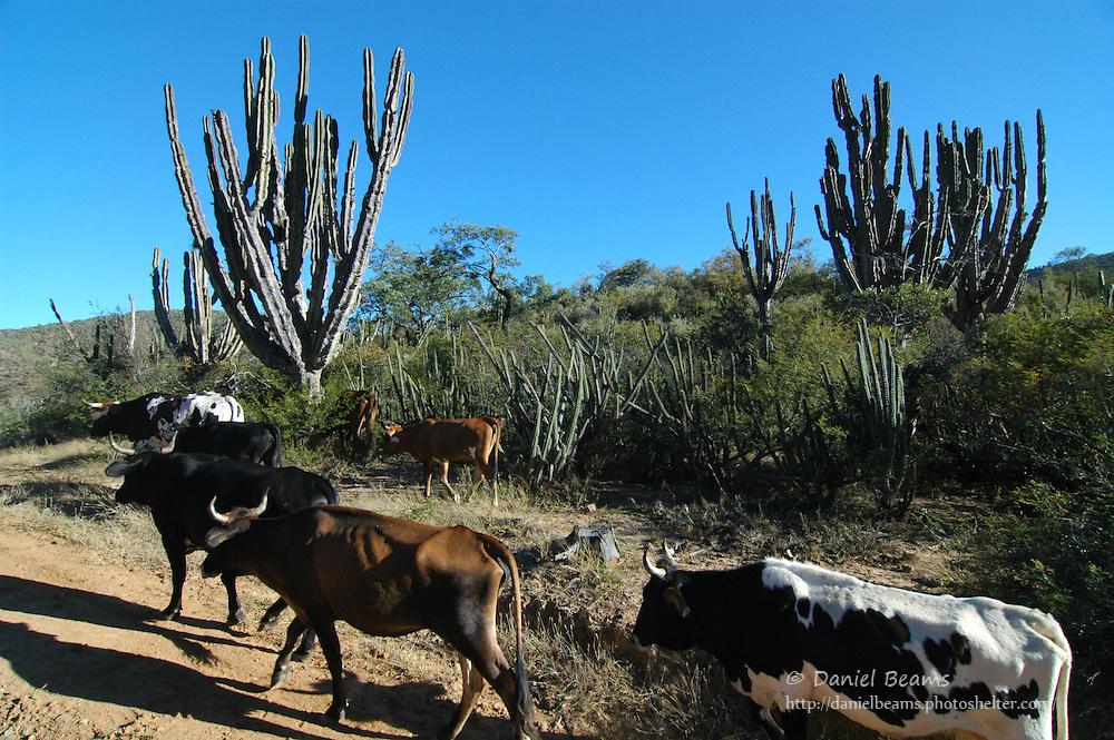 Cattle drive in Comarapa, Santa Cruz, Bolivia