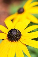 black eyed susan rudbeckia hirta flower