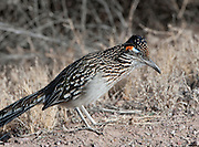 A Roadrunner at Bosque del Apache National Wildlife Refuge,New Mexico