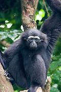 A captive hoolock gibbon (Hylobates hoolock). Range: China, India, Myanmar. Endangered.