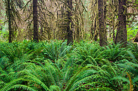 WA14434-00...WASHINGTON - Ferns and moss covered trees in the Hoh Rain Forest of Olympic National Park.