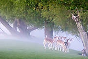 UNITED KINGDOM, London: 13 May 2015 A group of Fallow Deer stand in front of a foggy Richmond Park, London this morning. Although it was a cold start to the day, temperatures are set to get up to 20C. Rick Findler  / Story Picture Agency