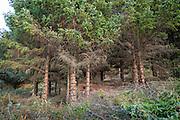 Dugnad mot pøbelgran, sitgagran (Picea sitchensis), som er et svartelistet, fremmed treslag i Norge. Stokkøya i Sør-Trøndelag. Flere miljøorganisasjoner deltar, som Norsk botanisk forening, Naturvernforbundet og WWF.