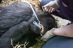 © London News Pictures. 23/06/2013.Hythe, Kent, UK. (EMBARGO UNTIL 24/06/13). The sedated female lowland gorilla Mwambe is carefuly monitored as she is placed in her transportation crate. A critically endangered western lowland gorilla family from Port Lympne Wild Animal Park are bound for Gabon in Africa as part of The Aspinal Foundation's Back to the Wild campaign. Djala, a 30 year old silverback, four mothers and four offspring embark on a unique 6,000 mile journey back to the wild courtesy of its partners DHL. Picture credit Manu Palomeque/LNP