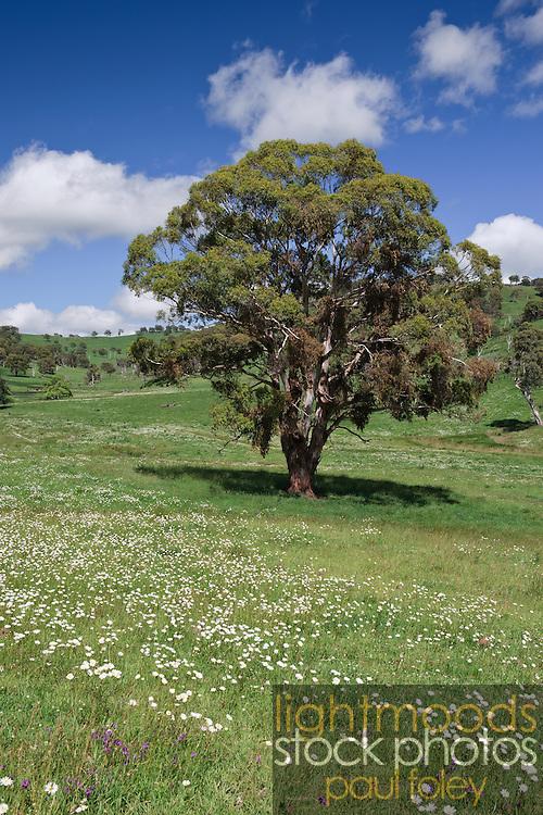 Gumtree in flower covered field near Armidale, New England, Australia