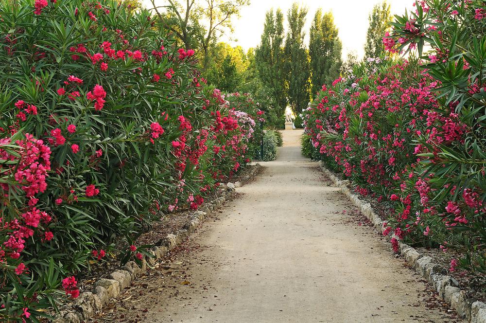 France, Languedoc Roussillon, Hérault, région de Pézenas, Margon, château de Margon, le jardin, laurier-rose