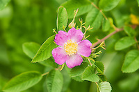 The Nootka rose is a beautiful member of the rose family that is found over much of the American west coast (excluding Arizona) from Alaska to New Mexico, and is only limited to British Columbia in Canada.