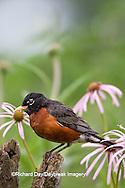 01382-05018 American Robin (Turdus migratorius) on fence post near flower garden, Marion Co., IL