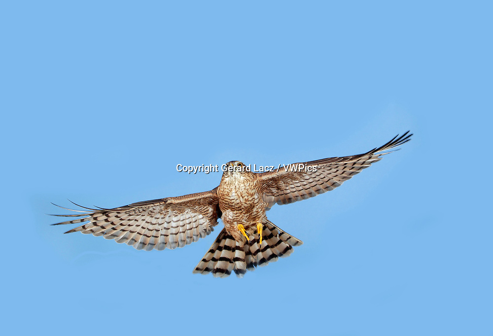 European Sparrowhawk, accipiter nisus, Adult in Flight against Blue Sky