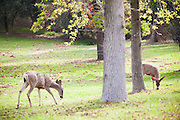 Wild Deer Grazing