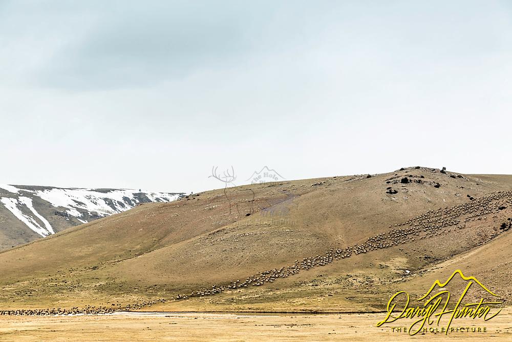 Migrating elk, Jackson Hole, Wyoming