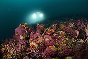 The submersible JAGO approaches the ROV that is waiting on the seafloor during an operation off Spitsbergen. Encrusting red algae and sea urchins live on the seafloor. Arctic Ocean, Svalbard, Spitsbergen, Norway. | Das Forschungstauchboot JAGO nähert sich dem am Boden wartenden ROV bei seinem Einsatz vor Spitzbergen. Auf dem Meeresboden befinden sich viele Krustenrotalgen und Seeigel. Arktischen Ozean, Svalbard, Spitzbergen, Norwegen.