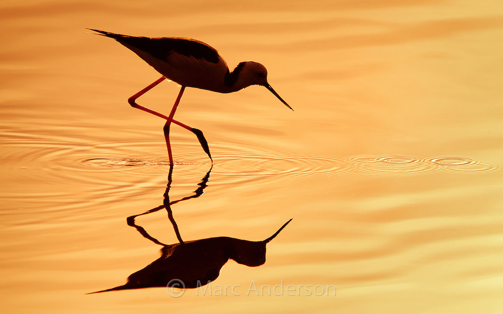 Silhouette of a Black-winged Stilt, also known as Common Stilt or Pied Stilt Himantopus himantopus, Australia