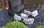 DEU, Germany, black swan (lat. Cygnus atratus) with chicks.....DEU, Deutschland, Trauerschwan (lat. Cygnus atratus) mit Jungen.