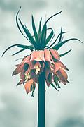 Fritillaria sp.