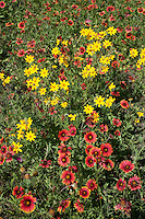 Indian Blanket and Engelmann's Daisy, Blanco County