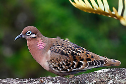 Galapagos Dove, (Zenaida galapagoensis), Galapagos National Park, Santa Cruz Island, Galapagos, Ecuador...The Galápagos Dove is a species of bird in the Columbidae family. It is endemic to the Galápagos, off Ecuador. It is fairly common and is found in a wide range of open and semi-open habitats, especially in the arid lowlands of the archipelago