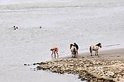 Nederland, Nijmegen, 29-7-2018Warme zomerse dag op het Waalstrand van Nijmegen in de Ooijpolder, makkelijk te bereiken via de voetgangersbrug Ooijblik die hier ligt. Het zwemmen in de rivier de waal, rijn, is gevaarlijk vanwege de veraderlijke stroming en de drukke scheepvaart. Wilde paarden, koniks, lopen langs het water . De paarden zijn nieuwsgierig naar her eten en voedsel wat de mensen bij zich hebben. Foto: Flip Franssen