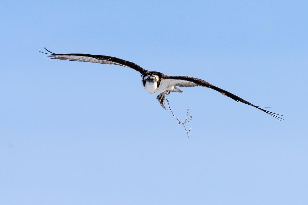 Osprey (pandion haliaetus) carrying nest material in flight, Boulder, Colorado