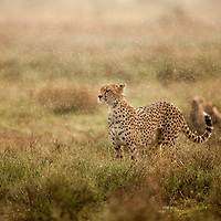 Tanzania, Ngorongoro Conservation Area, Ndutu Plains, Adult Female Cheetah (Acinonyx jubatas) walks through morning rain shower while hunting on open savanna