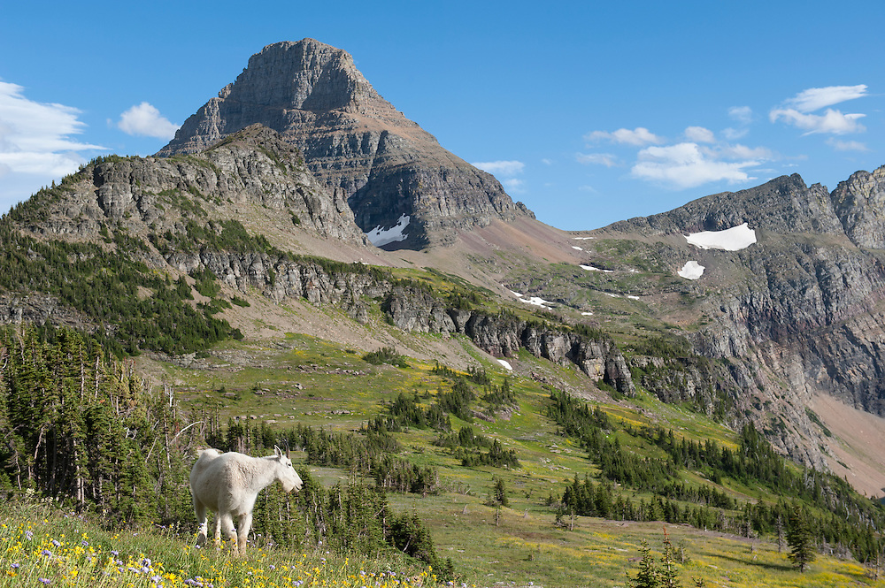 Mountain Goat (Oreamnos americanus), Glacier National Park, Montana