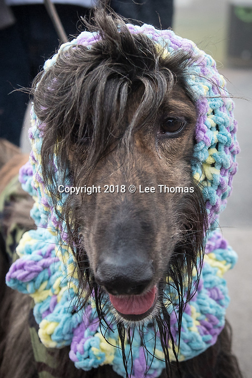 NEC, BIRMINGHAM, ENGLAND, UK. 9th MARCH 2018. Pictured:  An arriving hound wears a colourful head and neck garment. / Hundreds of dogs and their proud owners arrive at the NEC on a cold and misty morning. First held in 1891, Crufts is said to be the largest show of its kind in the world, the annual four-day event, features thousands of dogs, with competitors travelling from countries across the globe to take part and vie for the coveted title of 'Best in Show'.  // Lee Thomas, Tel. 07784142973. Email: leepthomas@gmail.com  www.leept.co.uk (0000635435)