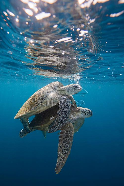 Mating green turtles, Chelonia mydas, off Sipadan Island, Borneo, East Malaysia.
