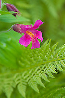 Mimulus lewisii, Purple Monkeyflower and Athyrium americanum (Butters) Maxon, alpine ladyfern North Cascades Washington USA