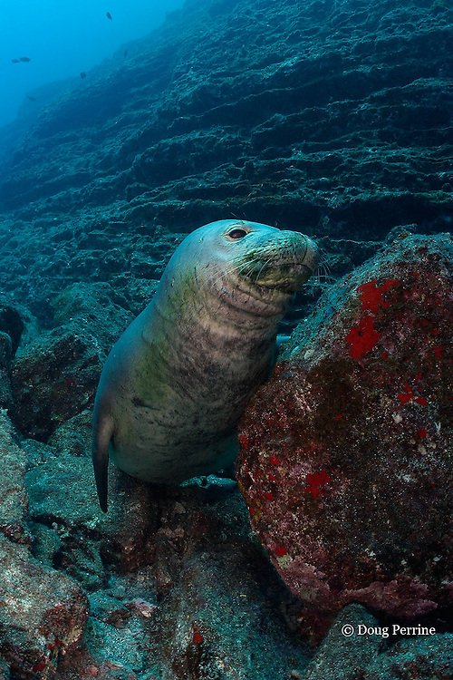 Hawaiian monk seal, Monachus schauinslandi ( critically endangered and endemic to Hawaiian Islands ), Lehua Rock, near Niihau, off Kauai, Hawaii, USA ( Central Pacific Ocean )