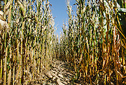 Corn maze at Councell Farms in Maryland in the fall.