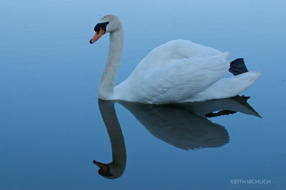 Mute Swan gliding gracefully above the water