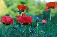 DEU, Germany, poppies (Papaver)....DEU, Deutschland, Mohnblumen (Papaver) .... .....