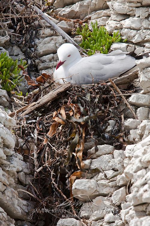Red-billed Gull, nest, Kaikoura, New Zealand