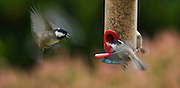 Use of motion blur to show the wing movement as a coal tit approaches a feeder in rainy conditions, showing aggression towards another coal tit.