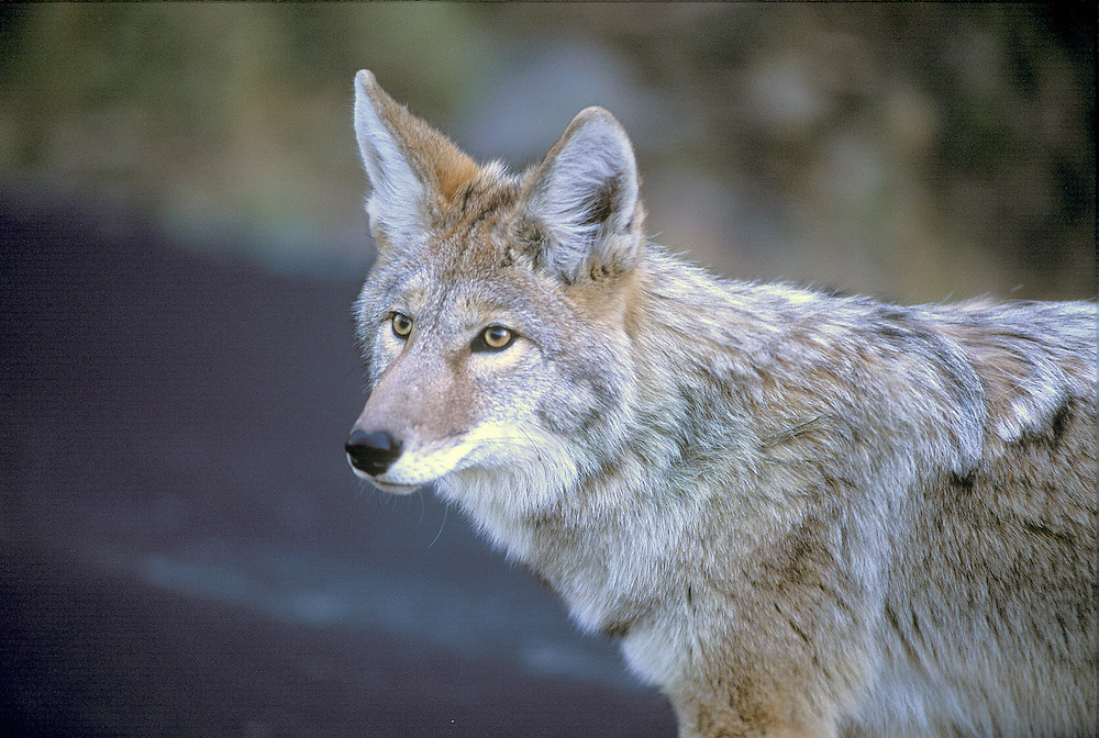 The coyote is a canid native to North America. It is a smaller, more basal animal than its close relative, the gray wolf, being roughly the North American equivalent to the Old World golden jackal, though it is larger and more predatory in nature