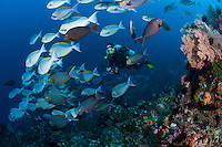 A diver interacts with a school of Surgeonfish<br /> <br /> Shot in Indonesia