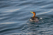 A double-crested cormorant (Phalacrocorax auritus) leaves wake on the gently rippled waters of Puget Sound near Edmonds, Washington.