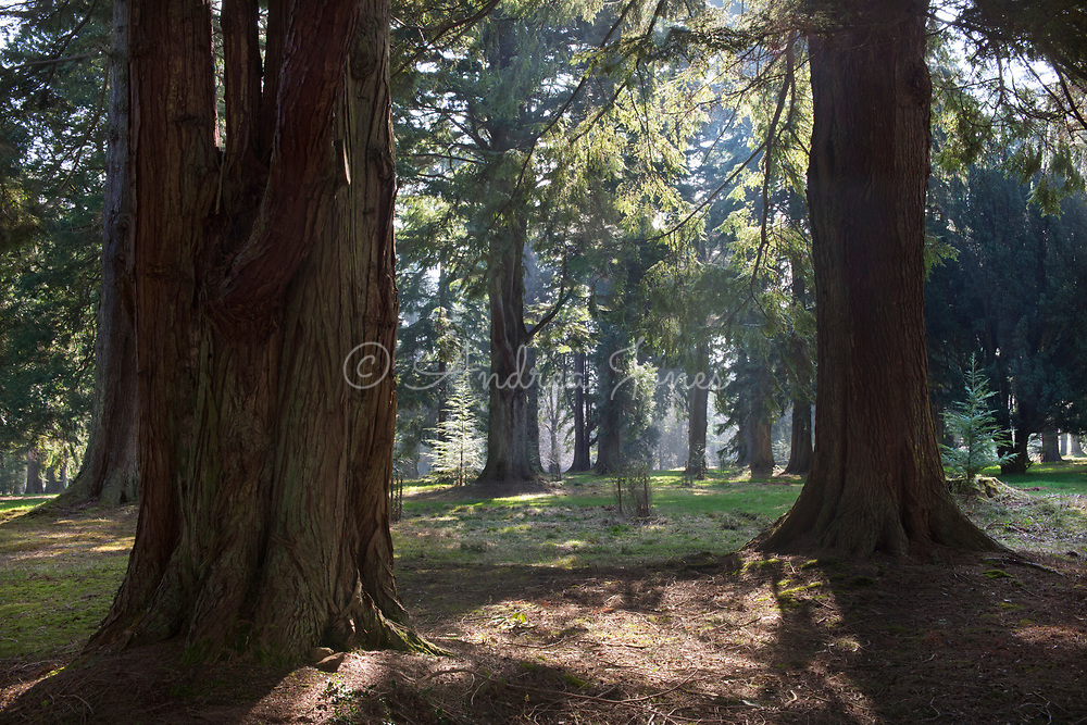 Sunlight through red barked tree trunks in the Pinetum at Mount Stuart