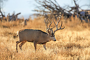 Trophy mule deer buck searches for a doe in estrus during the autumn rut.