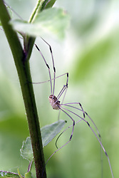 Daddy long legs spider