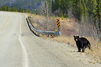 A Black Bear pauses beside the Alaska Highway