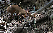 An agouti walks through the forest on Coiba Island in Panama