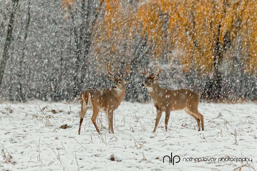 White-tailed deer bucks standing in snow storm;  Minnesota in wild.