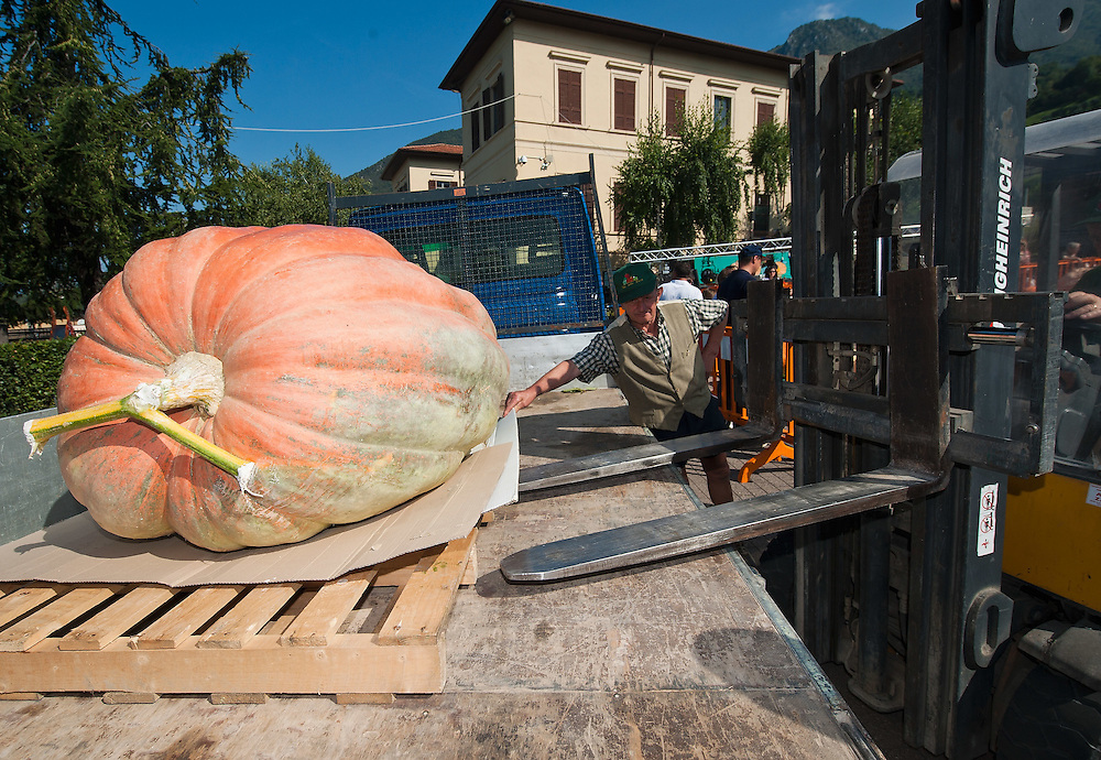 BRESCIA, ITALY - SEPTEMBER 12:  A giant pumpkin is takeninto the competition area by fork lift to be lined up at this year competition at  Sale Marasino organised by the Club Maspiano on September 12, 2010 in Brescia, Italy.  Cutrupi Stefano of Radda in Chianti, won  this year Italian National Competition with his pumpkin weighing  507 Kg.